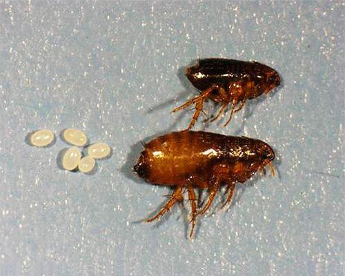Traiter la chambre pour les puces doit être soigneusement, pour détruire non seulement les adultes, mais aussi leurs œufs et leurs larves