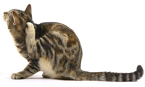 Les parasites peuvent pénétrer dans la maison de plusieurs manières et l'une des principales est celle des poils de l'animal.
