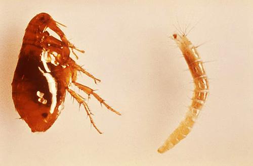Photo de puces adultes (à gauche) et de larves (à droite)