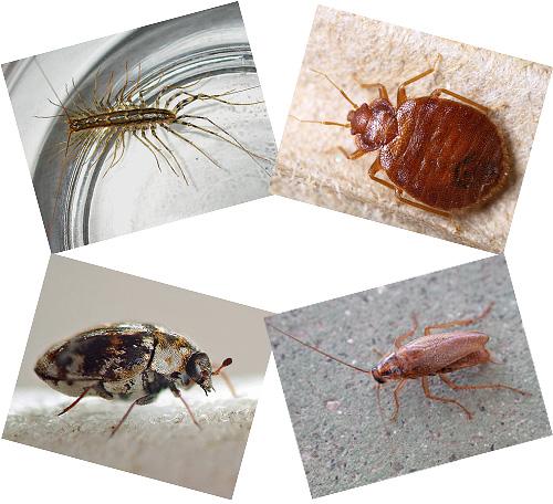 Dans la maison à côté d'une personne peut vivre beaucoup d'insectes, dont nous parlerons plus loin, avec des photographies, une description du mode de vie et des conséquences du voisinage avec eux.