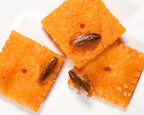 Les blattes domestiques contaminent les aliments au fur et à mesure qu'elles se déplacent, contribuant ainsi à la propagation des infections.