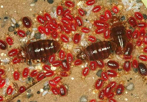 C'est ainsi que les insectes adultes et leurs larves se nourrissent de sang.
