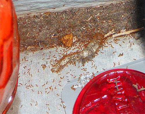 Les fourmis pharaons peuvent endommager les aliments à la maison