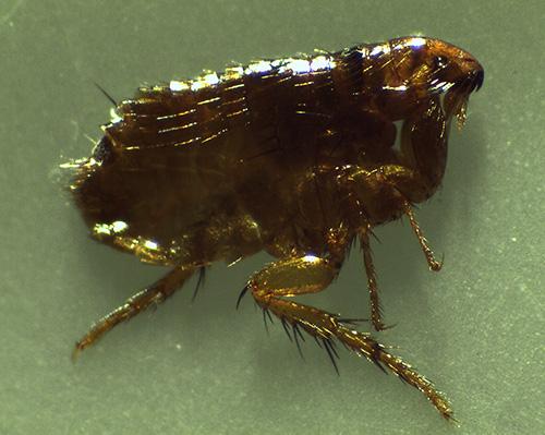 Les parasites insectes domestiques suceurs de sang incluent également les puces.