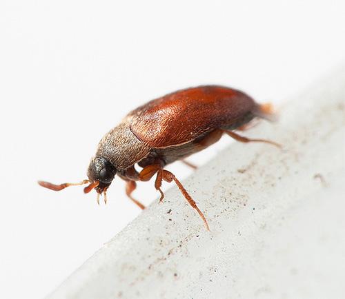 Les gens ne savent souvent même pas sur le quartier avec les coléoptères Kozheedi ...