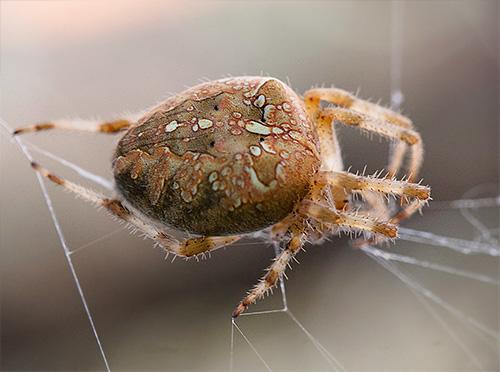 Grue araignée sur le web (Araneus diadematus)