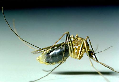 Dans la plupart des cas, les moustiques ne vivent pas longtemps dans la maison et ne se présentent ici que pour s'enivrer du sang humain.