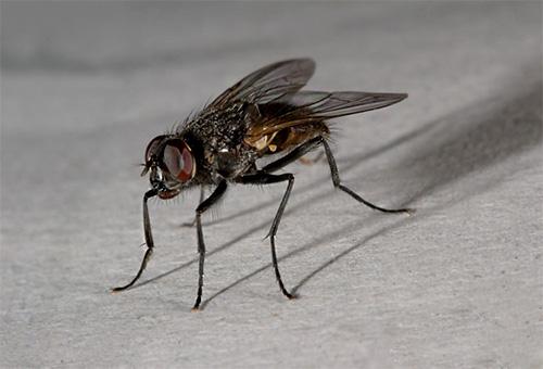 Une mouche domestique ne peut être trouvée que dans la maison d'un homme.