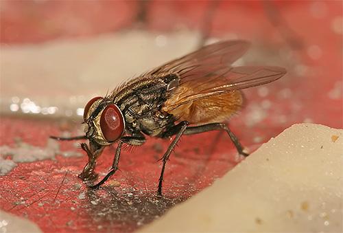 Sur leurs pattes, les mouches peuvent être porteuses d'agents pathogènes d'infections dangereuses et d'œufs d'helminthes