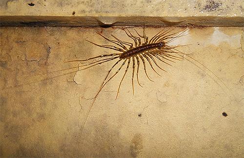 Le moucherolle mange des moustiques et autres petits insectes