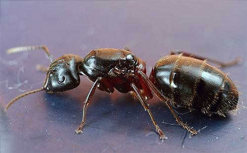 Fourmi à face rouge (Camponotus herculeanus)