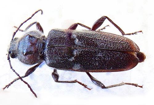 Le scarabée broyeur et ses larves peuvent causer des dommages importants aux structures en bois et réduire leur résistance.