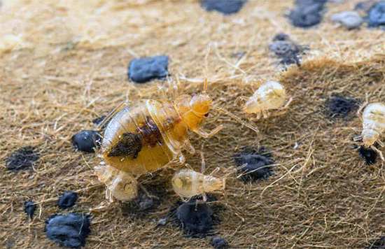 Après un certain temps, les larves vont éclore des œufs survivants, qui risquent de mourir si elles entrent en contact avec les surfaces traitées.