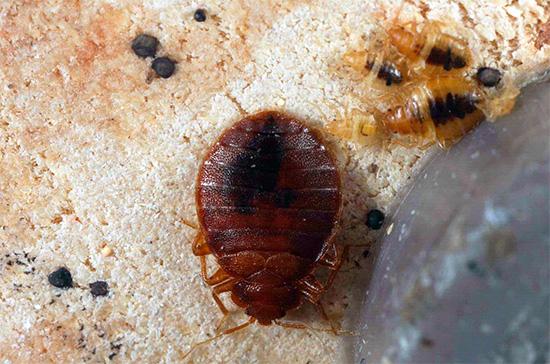 La photo montre une punaise de lit adulte et des larves