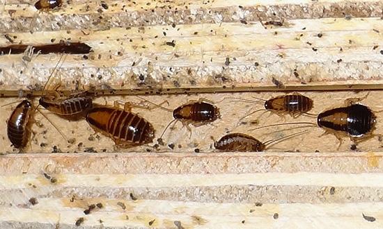 Delta Zone détruit même les cafards qui ont réussi à développer une résistance à certains autres insecticides.
