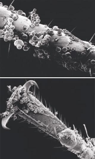 L'insecticide micro-encapsulé adhère bien aux jambes, aux moustaches et au corps des insectes, ce qui augmente considérablement l'efficacité du produit.