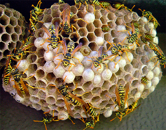 Le dichlorvos est tout à fait approprié pour empoisonner rapidement les insectes dans le nid.