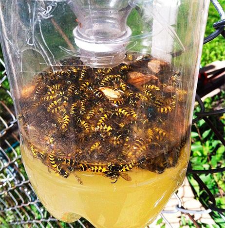 La photo montre un exemple de piège rempli de guêpes mortes.