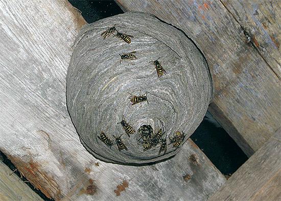 La photo montre un nid de guêpes situé dans le grenier d'une maison en bois.