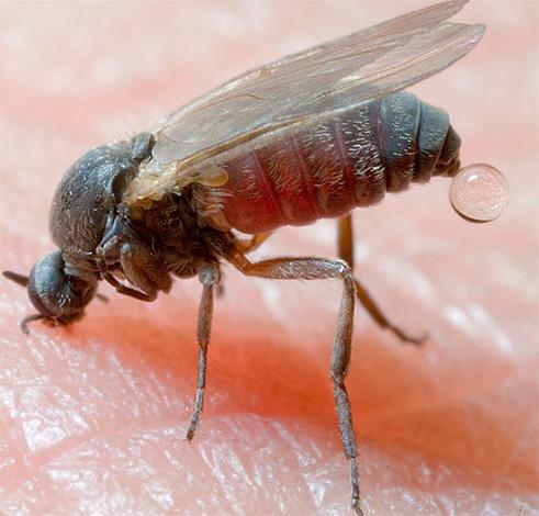 Les piqûres d'insectes, par exemple, dans la taïga (moucherons) peuvent avoir des conséquences très graves, si elles ne prennent pas initialement les mesures de protection appropriées.