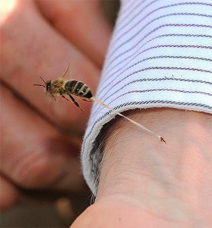 Contrairement aux frelons et aux guêpes, une abeille laisse une piqûre dans la peau de la victime (avec une partie des organes internes) lorsqu'elle est mordue.