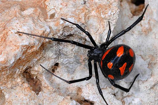 Les morsures d'un karakurt d'araignée empoisonnée sont mortelles pour l'homme ...