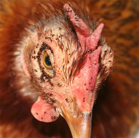 De grosses morsures de poulet entrainent la congélation des oiseaux.