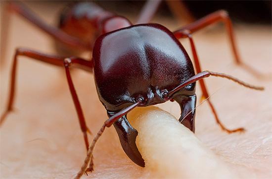 À l'exception de certaines fourmis brûlantes, les piqûres de ces insectes ne laissent généralement que des marques à peine visibles sur la peau.