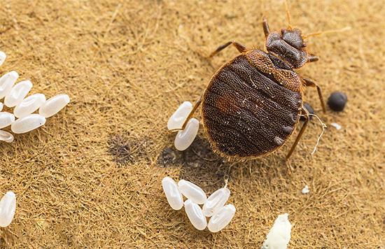 Un seul traitement de la pièce contre les punaises de lit ne suffit pas, car les œufs de parasites survivent dans la plupart des cas.