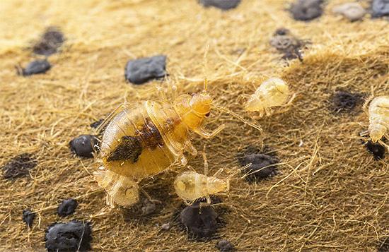 Les jeunes larves vont naître des punaises qui ont survécu après la transformation des œufs.