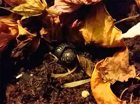 Woodlice peut se cacher, par exemple, dans une litière de feuilles dans le jardin frontal d'une maison de ville.