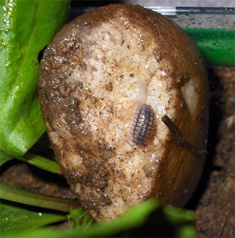 Mokritz peut être amené dans un appartement avec des pommes de terre pourries, mais il n'ya pratiquement aucune chance de survie à long terme dans une pièce sèche.