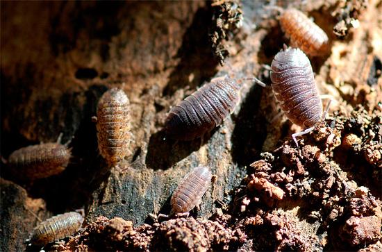 La photo montre des cloportes dans leur habitat naturel - dans l'ancienne souche pourrie.
