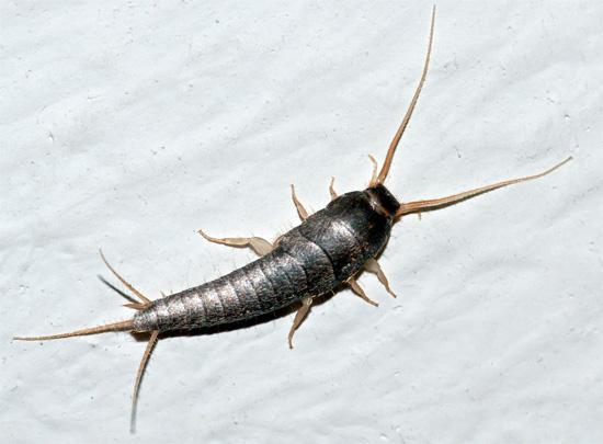 Et voilà à quoi ressemble un poisson d'argent, plus mince et qui a de longs cercus à l'extrémité de l'abdomen.