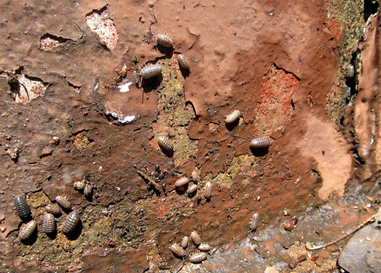 Le vieux mur de la maison, couvert de lichens et présentant de nombreuses fissures - un endroit attrayant pour les poux de bois.