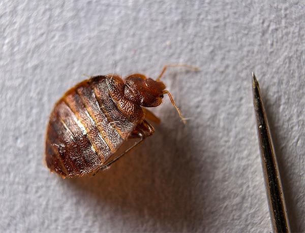 Beaucoup de gens ne soupçonnent même pas que les punaises de lit dans un appartement (ainsi que d'autres insectes, d'ailleurs) peuvent être efficacement détruites à l'aide de bombes fumigènes.