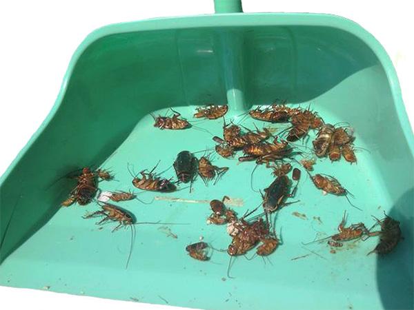 Avant de laisser les animaux de compagnie entrer dans l'appartement, il est important d'éliminer tous les cafards morts et de procéder à un nettoyage humide.
