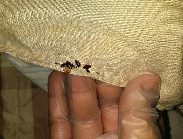 Particulièrement, il est nécessaire de manipuler les lieux d'abri d'insectes.