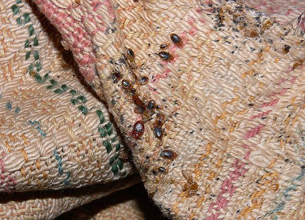 La photo montre un nid de punaises de lit dans les plis de meubles rembourrés.