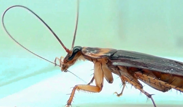 Un insecticide peut pénétrer dans le corps d'une blatte lorsqu'un insecte nettoie, par exemple ses antennes.