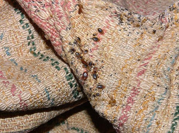 Les punaises de lit se trouvent dans presque tous les pays du monde.