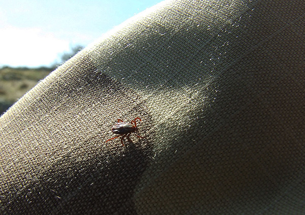 Même en touchant simplement les vêtements traités avec la composition insecticide, la tique meurt assez rapidement.
