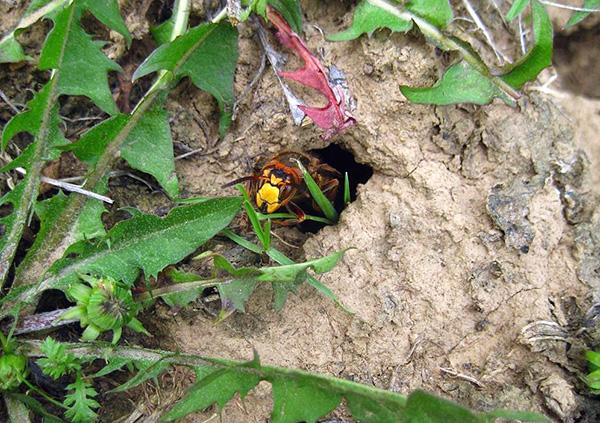 En partant de la nature, il ne faut pas oublier que les guêpes et les frelons peuvent faire leur nid dans le sol.