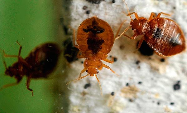 Essayons de trouver le meilleur pour empoisonner les insectes s'ils apparaissent soudainement dans un appartement ou une maison privée ...