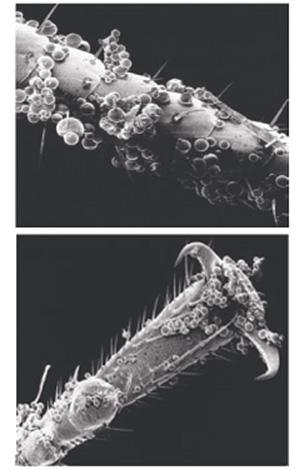 Les microcapsules des moyens collent assez bien à la couverture chitineuse des punaises ...