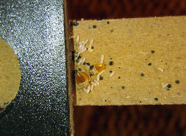 La photo montre clairement les œufs de punaises sur le mur du meuble.