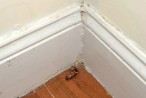 L'effet maximum dans la lutte contre les blattes ne peut être obtenu qu'avec la combinaison correcte d'insecticides de divers types.