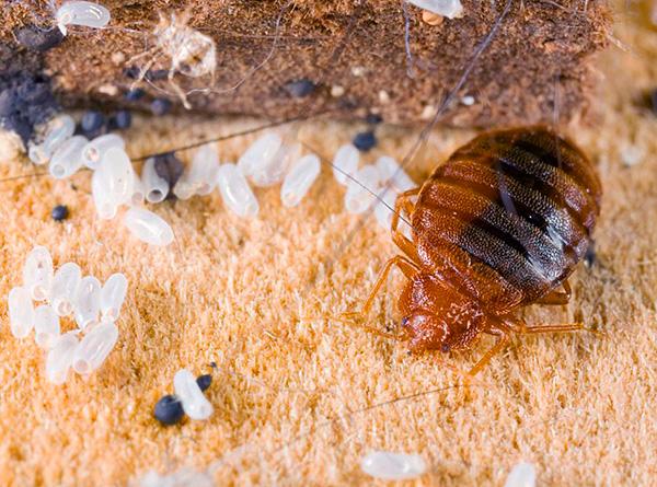 Essayons de comprendre comment organiser correctement la prévention des punaises de lit dans l'appartement afin de protéger efficacement votre maison de l'apparition de ces parasites ...