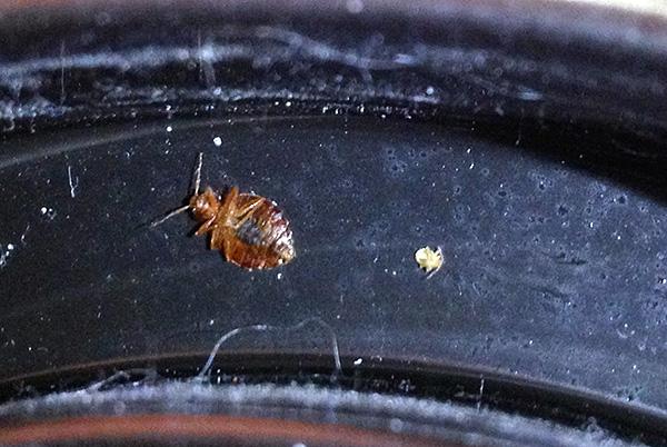 S'il y a des surfaces traitées avec un agent insecticide dans la maison, des individus individuels d'insectes mourront même s'ils entrent dans un appartement, par exemple, par des voisins.
