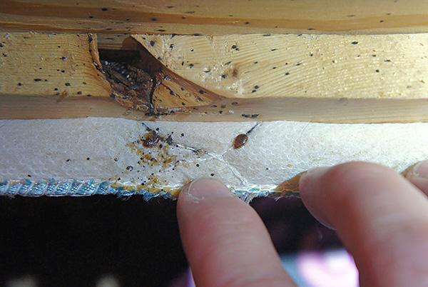 La photo montre le nid de punaises dans le canapé.